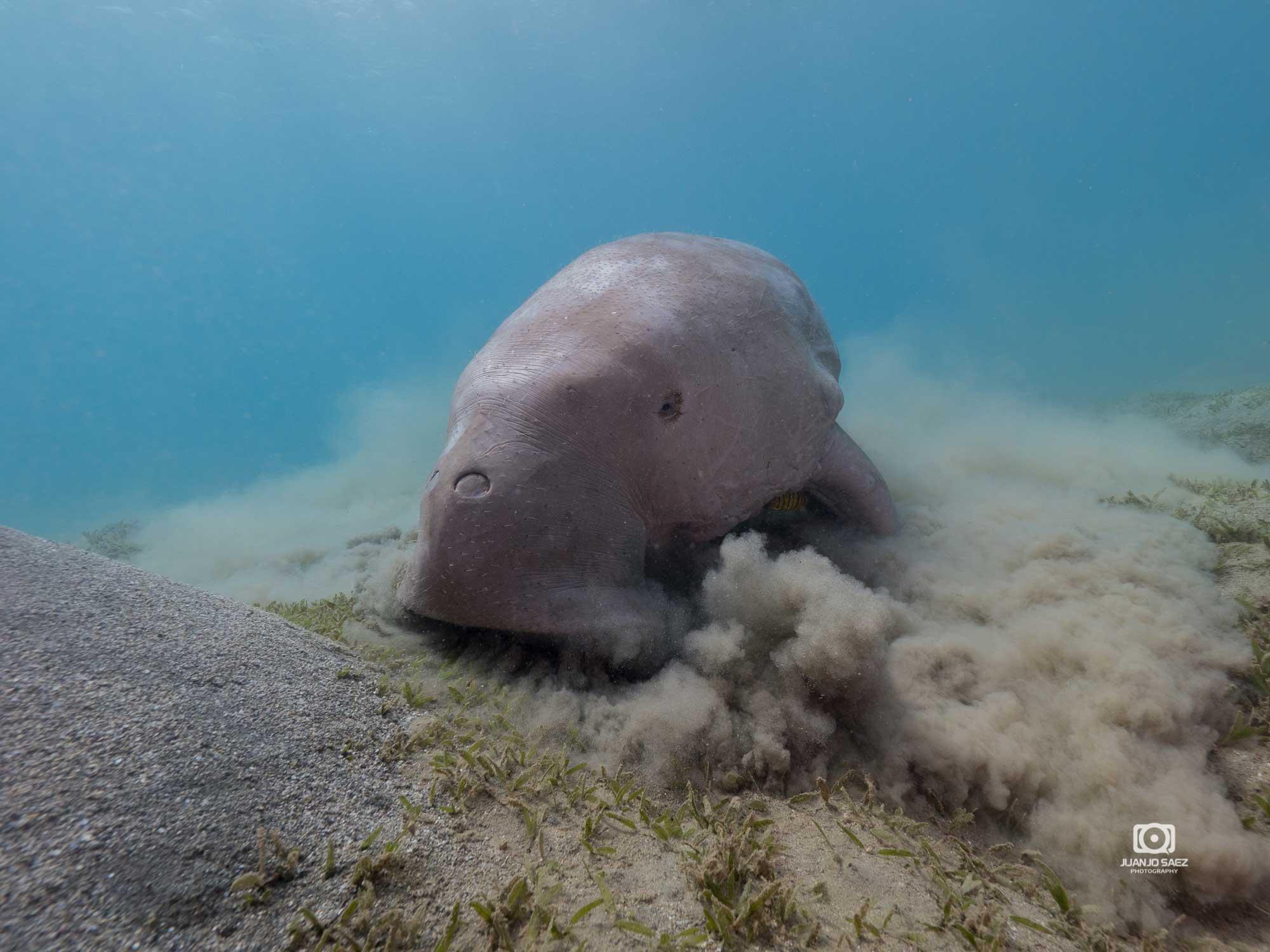 Dugongo comiendo pasto marino