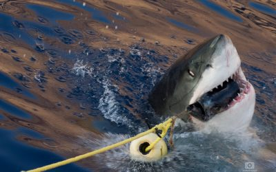 Objetivo Guadalupe: Tiburón Blanco